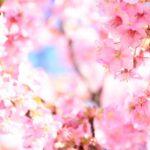 2月でも楽しめる桜があるって本当?沖縄と河津桜で一足早い春を楽しもう