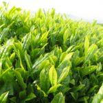翠 濃茶ハーゲンダッツの35周年記念商品の販売期間やカロリーは?